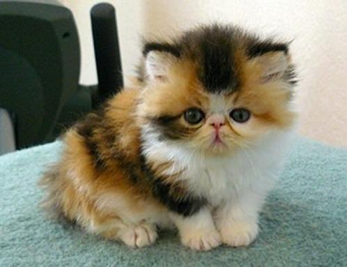 котенок перс трехцветка