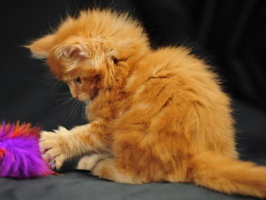 котенок мейн кун играет с игрушкой