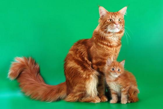 рыжий мейн кун с котенком