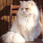 классический персидский кот кремовый