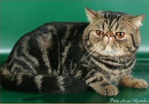 кошка перс экзот