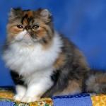порода кошек Персидская