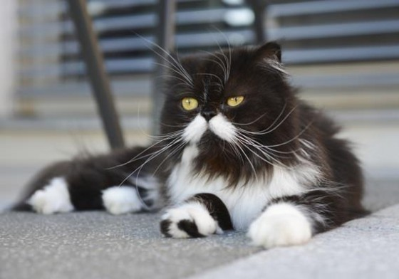 персидский кот черно-белый