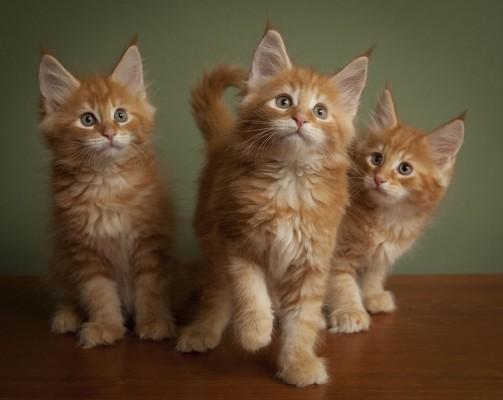 три котенка мейн кун рыжие