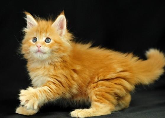 рыжий котенок мейн кун играет