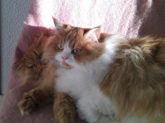 рыжие кошки персы