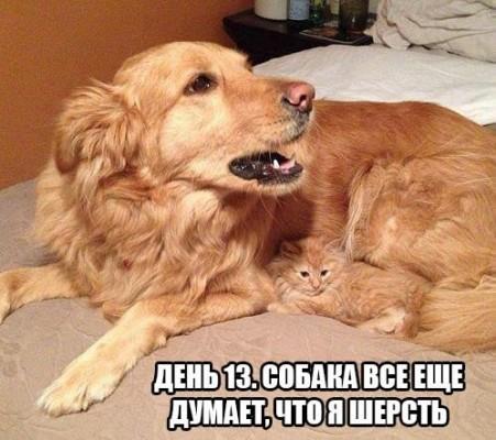 день 13 собака думает что котенок шерсть