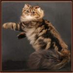 современная персидская кошка