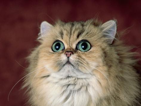золотая персидская кошка