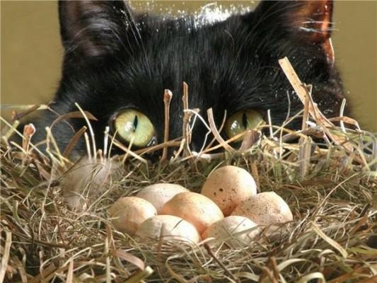 кот охотится за яйцами