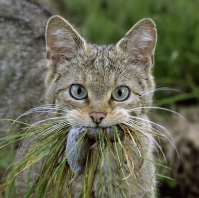 мышь в зубах у кошки
