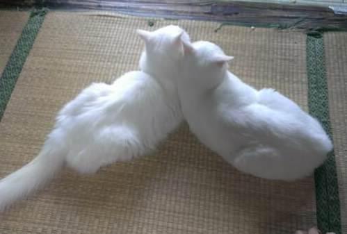 белые два котика лежат вместе