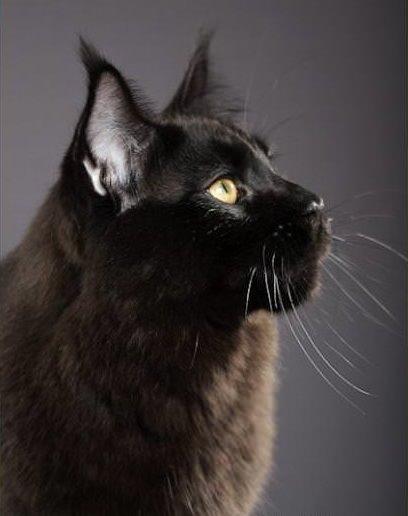 мейн-кун черные фото
