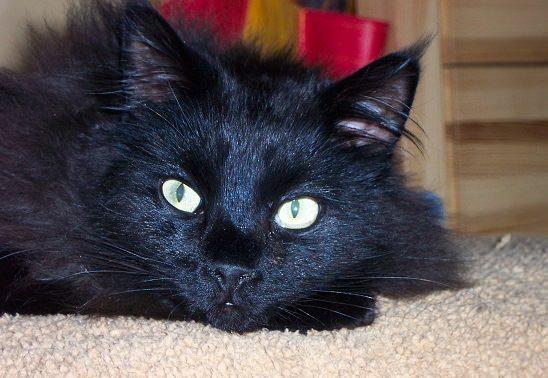 мечта черной кошки