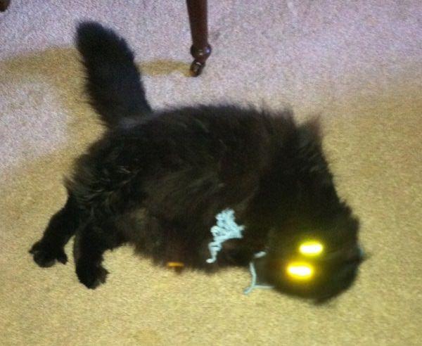У кошек светятся глаза (12 фото) Собака и Кошка