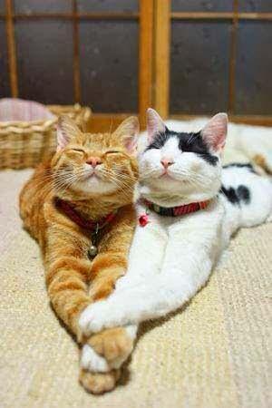 Два целующихся кота
