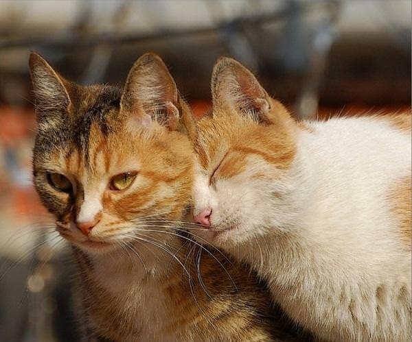 Влюблённые кот и кошка