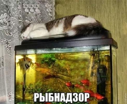 кот рыбнадзор на аквариуме