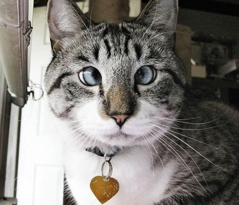 Спанглс косоглазый кот