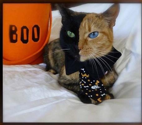 двуликая кошка химера