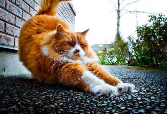рыжий котяра потягивается
