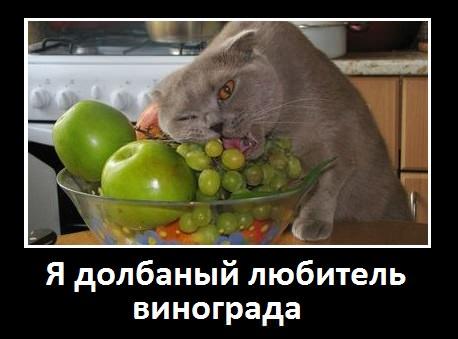 кот любитель винограда