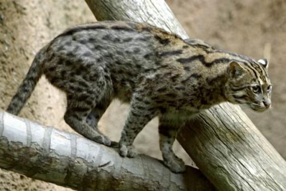 виверровый кот рыболов в полный рост