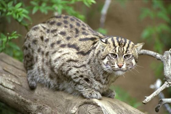 Виверровый кот рыболов - что за зверь? (15 фото)