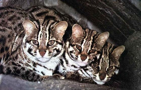 котята виверровой кошки