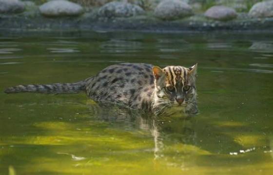 кот рыболов в воде