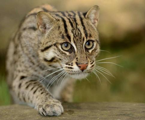 виверровый кот рыболов морда