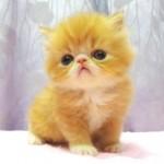 рыжий котенок перс