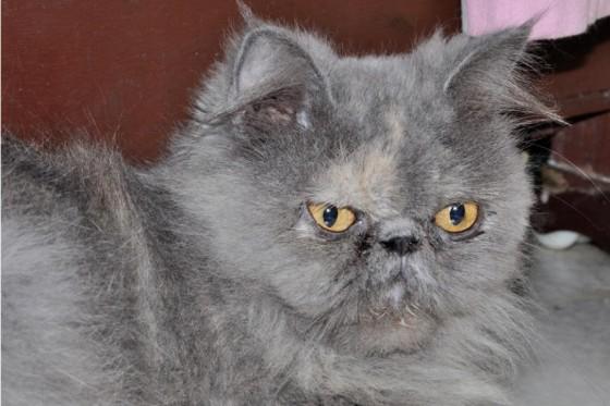 серый перс экстремал