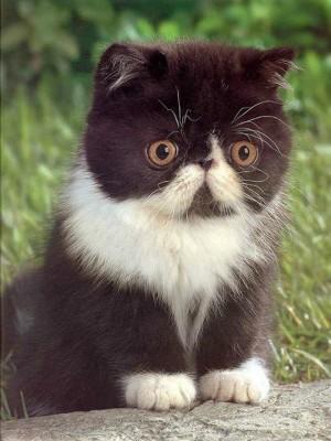 черно-белый персидский котенок