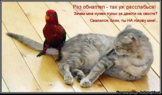 попугай на хвосте у кота