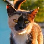 грустная морда кошки трехцветки