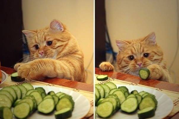 Коты приколы огурец с кошкой