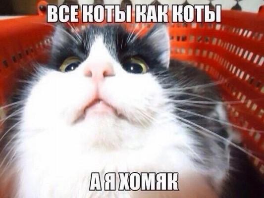 Обнаружен кот хомяк