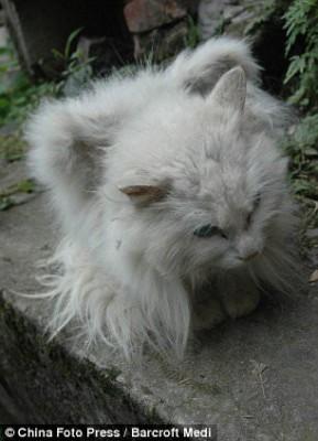 кот из Китая, у которого выросли крылья