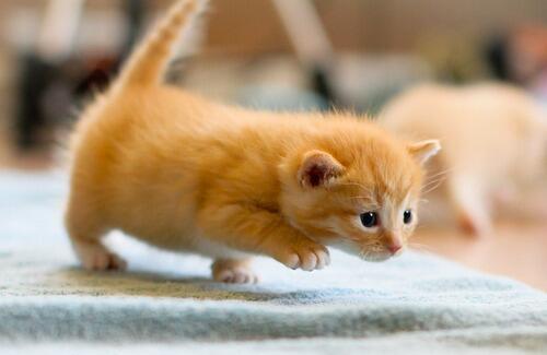 рыжий котенок играет