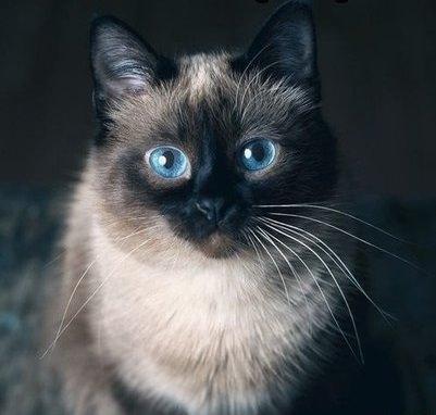 сиамская голубоглазая кошка