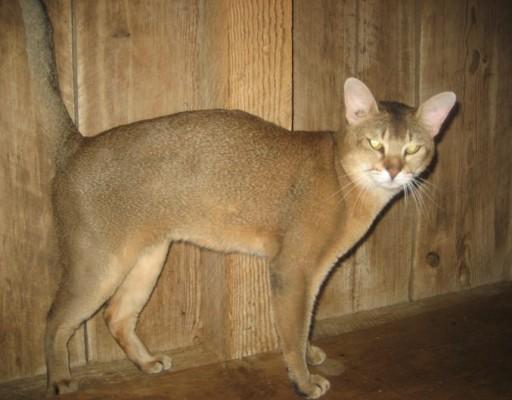 камышовый домашний кот
