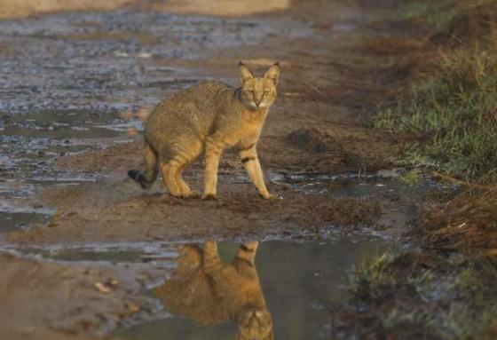 камышовый кот у воды