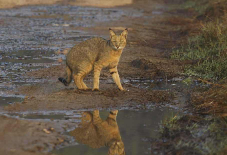 Ареал обитания котов камышовых