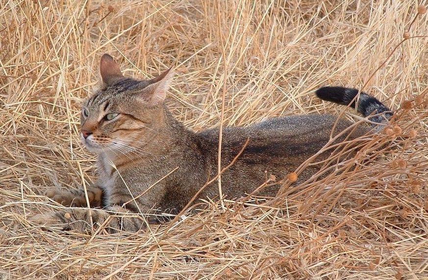 камышовый кот дикий фото