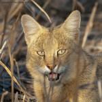 камышовый кот морда