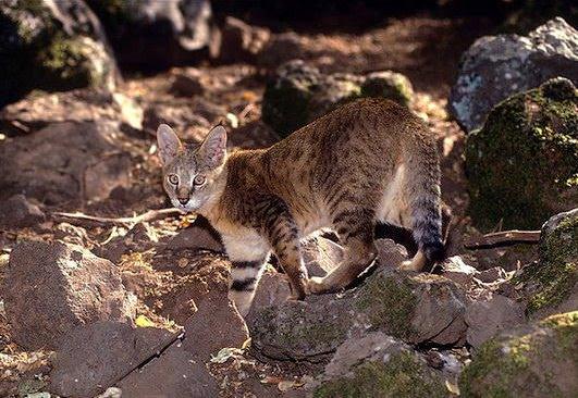 камышовый кот на камнях