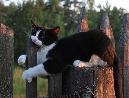 кот грызет забор