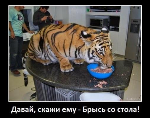 тигр на столе ест