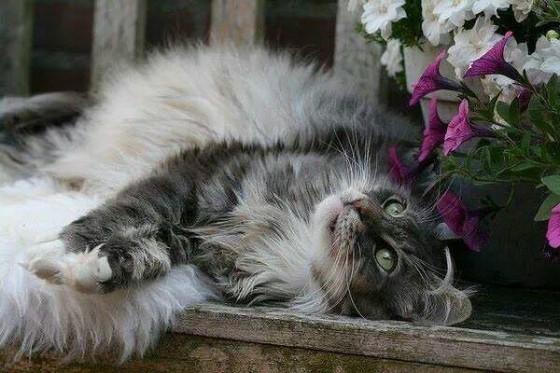 пушистая красивая кошка